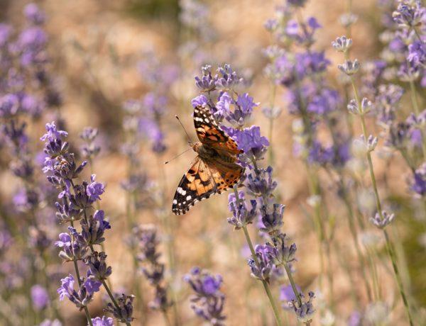 beautiful-butterfly-flower-nature-600x460 Giverny à la table de banquet